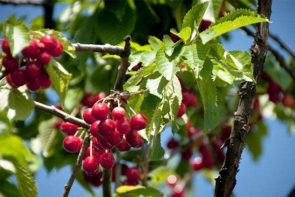 樱桃树.jpg