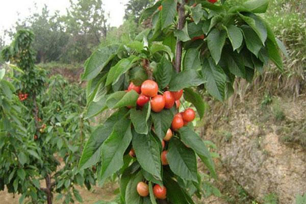 樱桃树2.jpg