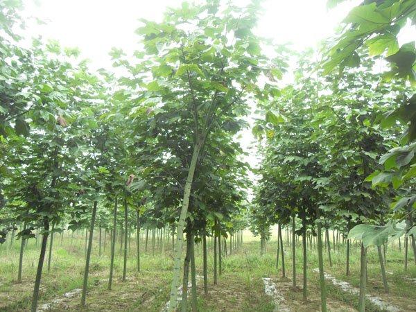 梧桐树图片