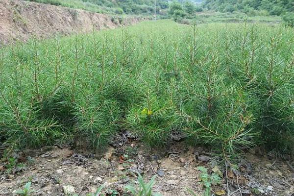 打工仔回乡创业,种植白皮松苗木带领村民增收