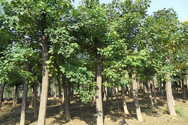 高集乡63户靠种楸树菊花脱贫 每亩收入四五千元