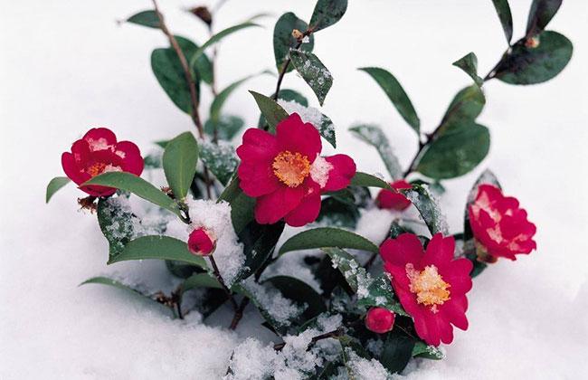 冬季花卉防寒有什么方法?