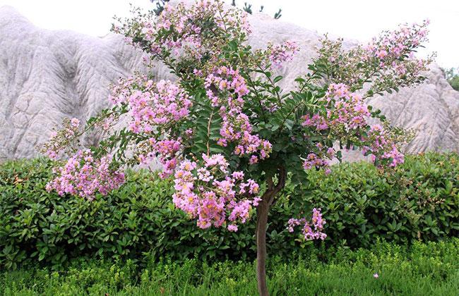紫薇树种植栽培技术