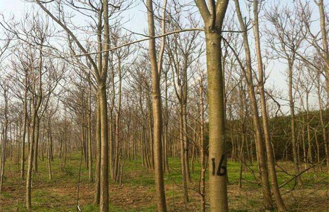 楸树是常绿树种吗?楸树今年秋天价格行情