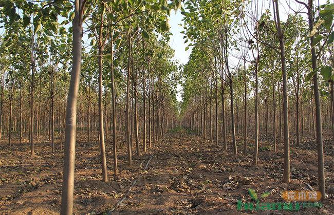 河南楸树市场价格 楸树栽培种植方法