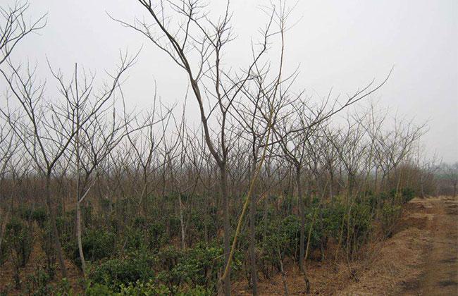 冬季苗木病虫害2.jpg