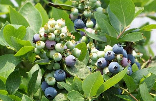 种蓝莓.jpg
