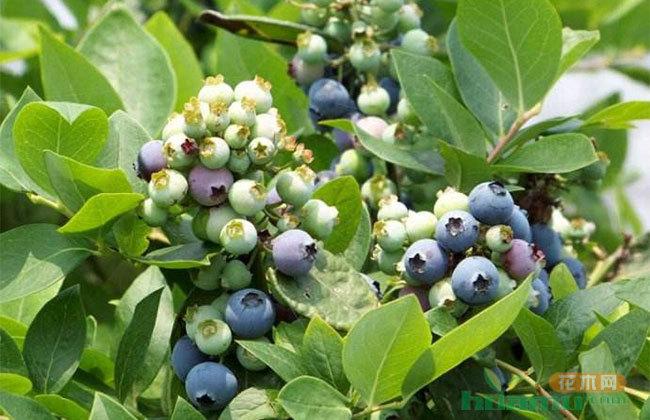 农村小伙种植蓝莓,带领村民发家致富