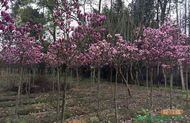 浙江嵊州地方特色树种前景看好