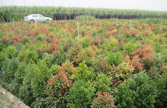 福建漳州地区的苗木市场行情明显不如去年