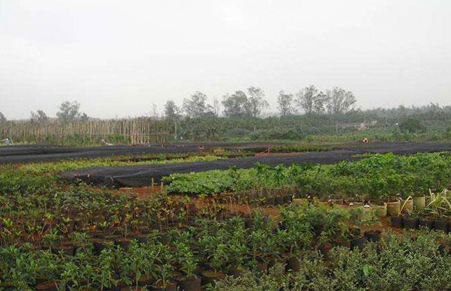 海口苗木市场旺季不旺
