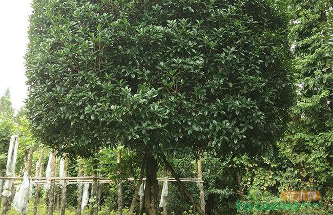 桂花树最新价格行情 冬季桂花树越冬防寒办法