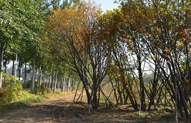 丛生蒙古栎.jpg