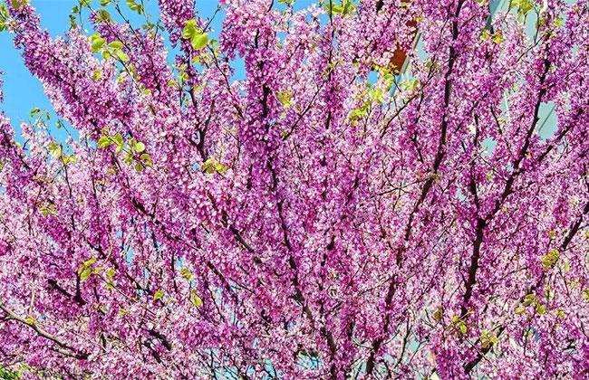 丛生紫荆.jpg