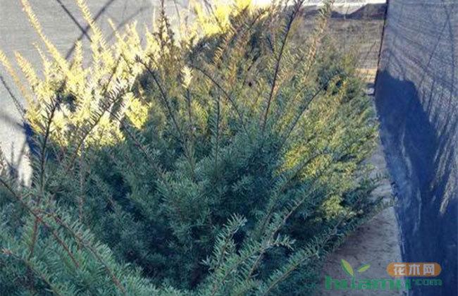 红豆杉价格怎么样?红豆杉的种植栽培方法