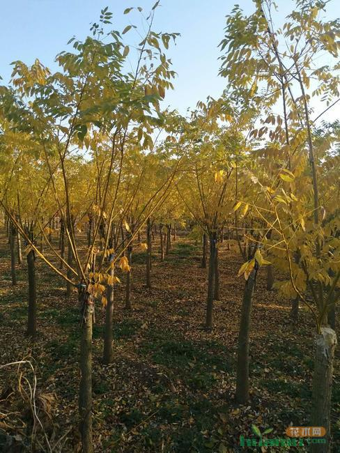 白蜡秋冬市场价格如何?白蜡小苗栽植繁育技术