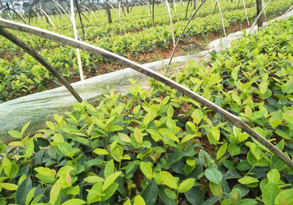 油茶栽培种植技术