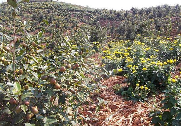 冬季油茶树苗怎么管理?移栽苗如何越冬?