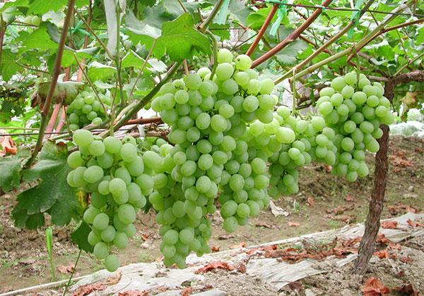 葡萄扦插繁育技术