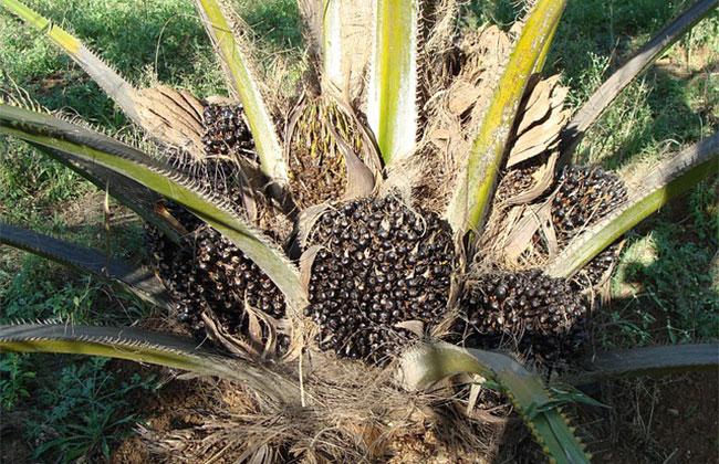 棕榈树可以产棕榈油吗?棕榈种植前景如何?