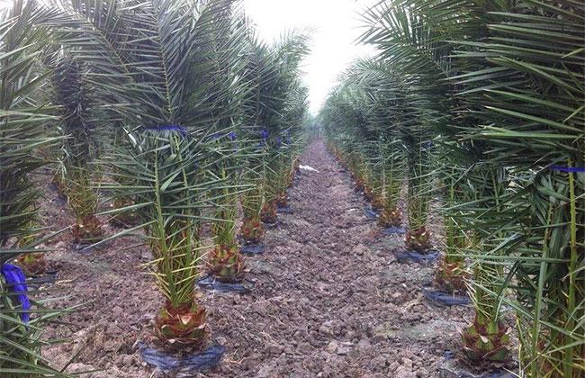 哪些地区可以种植棕榈树?北方可以种哪些品种?