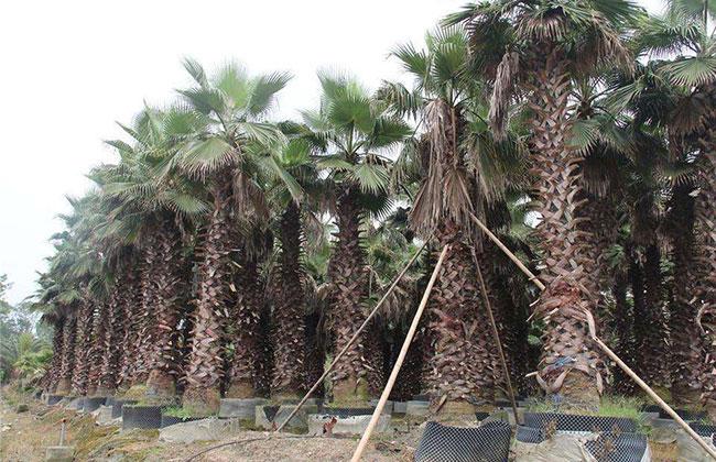 棕榈什么时间种植?
