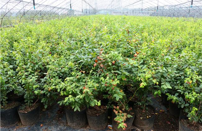 吉林长春绿化量大减 苗木行情很冷
