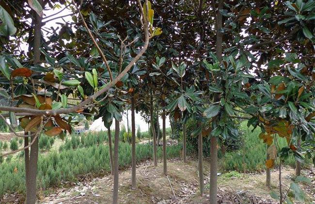 广玉兰适合种植在什么地方?种植前景分析
