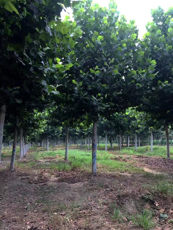 速生法桐,现代城市绿化首选树种