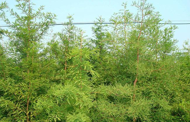 2019年园林绿化对苗木的新要求