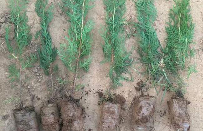 柏树有哪几种?侧柏的种植前景怎么样?