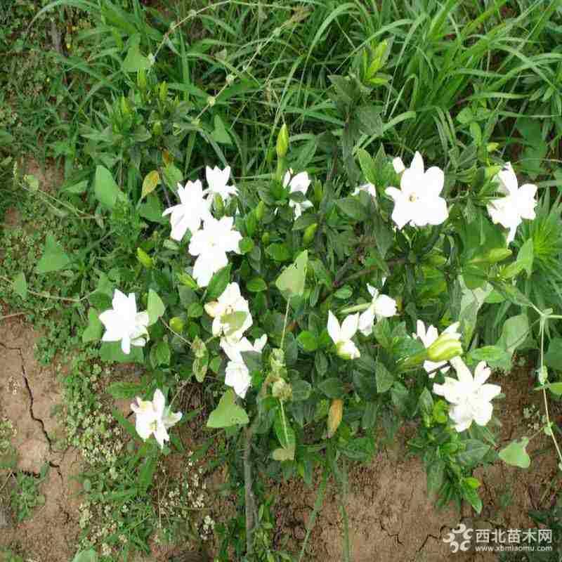 江苏栀子花