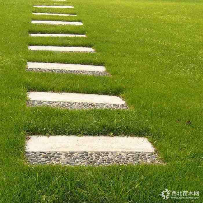 直销草坪种子