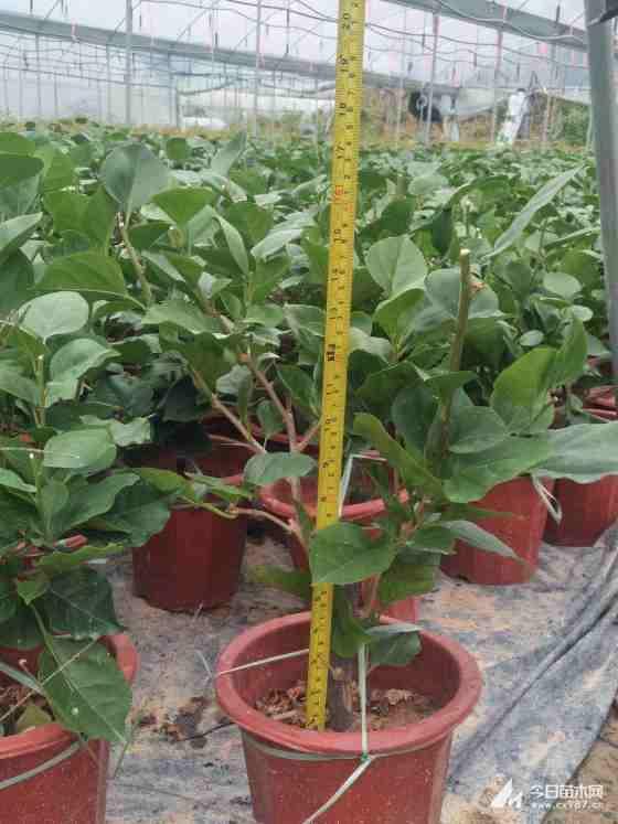 高40公分三角梅盆苗