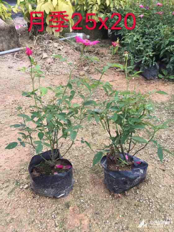 丰花月季  玫瑰月季 高度25-30批发