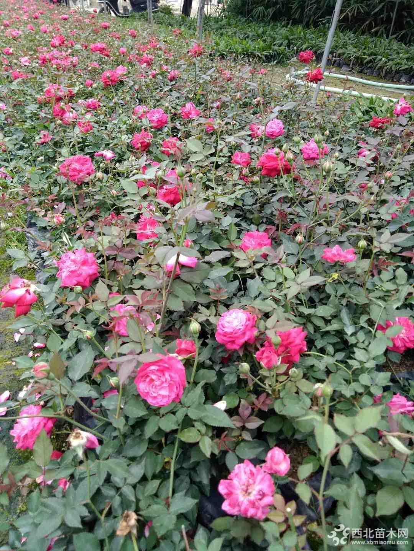 丰花月季   玫瑰月季  高度25-30 批发