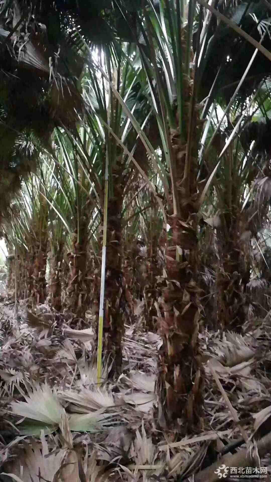 福建蒲葵  蒲葵高度4.5米价格