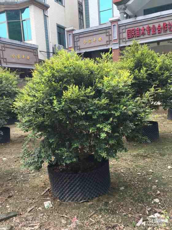 福建树葡萄  嘉宝果  高度1米价格