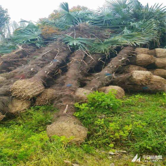 高2.6米棕榈树