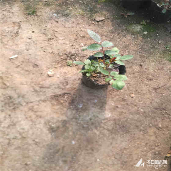 60厘米高月季苗