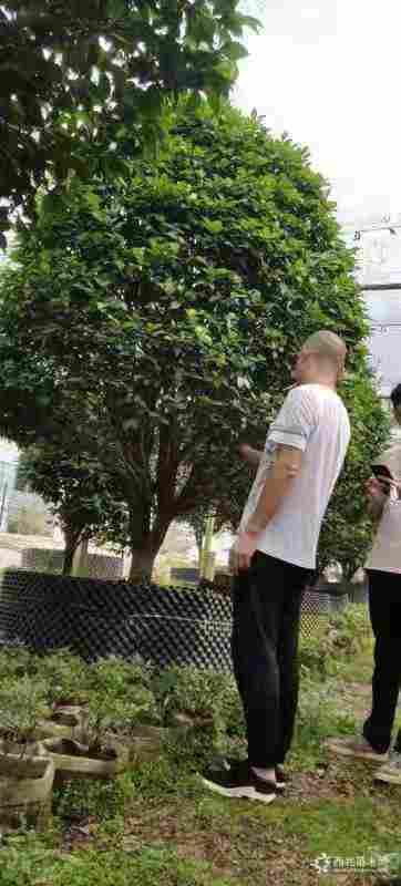 福建漳州2.5米高香茶花