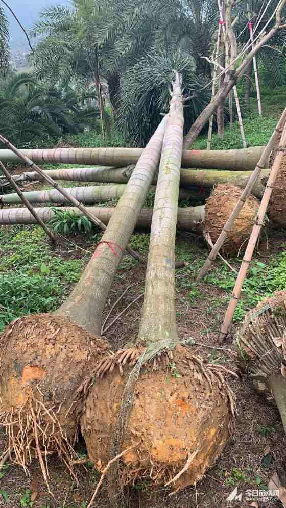 7米高狐尾椰子批发价 哪里有农户直销的狐尾椰子基地
