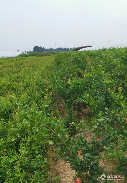 1-3年軟籽石榴苗 突尼斯軟籽石榴價格