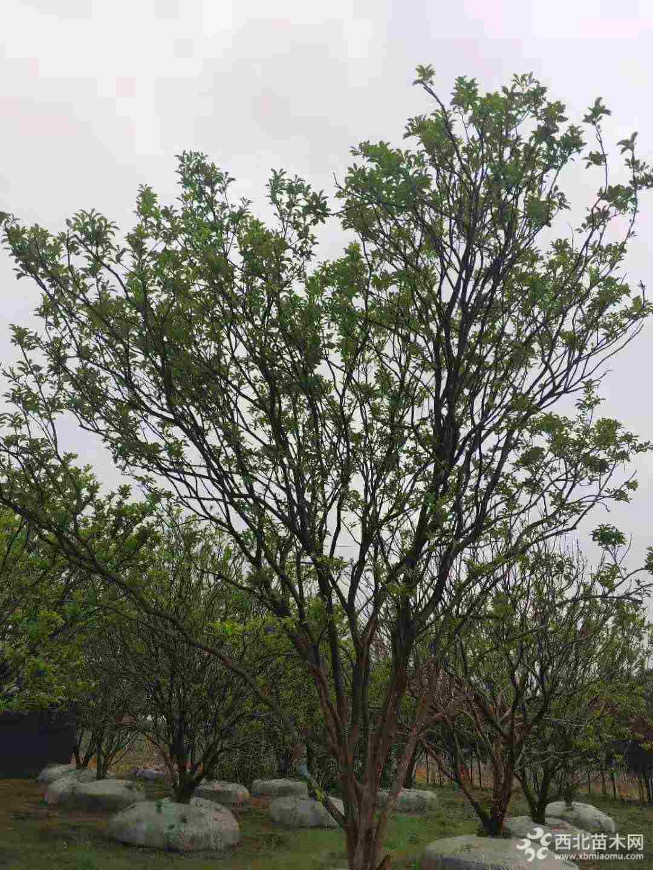 15公分香泡价格 香泡树柚子树基地批发