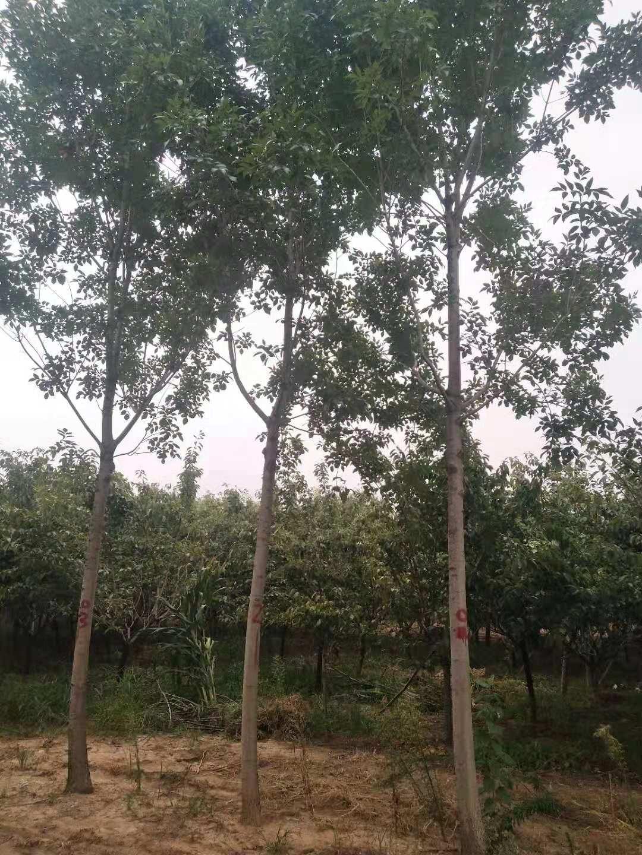 板栗树产量_10公分白蜡树价格 山东白蜡树市场价格 - 中国花木网