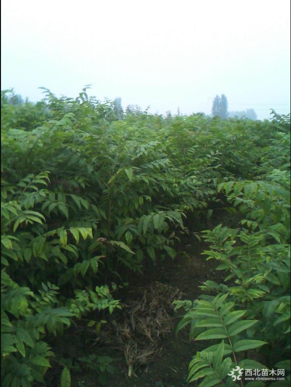 优质红油香椿哪里有 泰安红油香椿基地