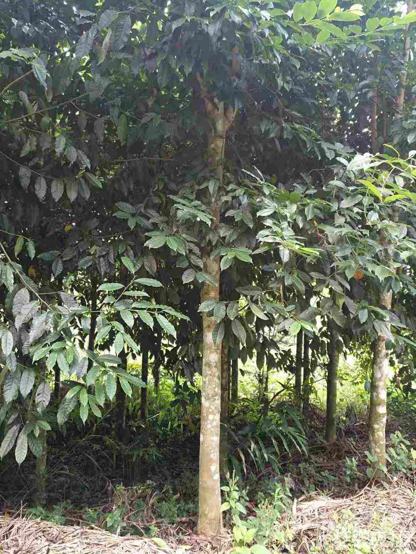 凤凰木多少钱一棵 凤凰木种植