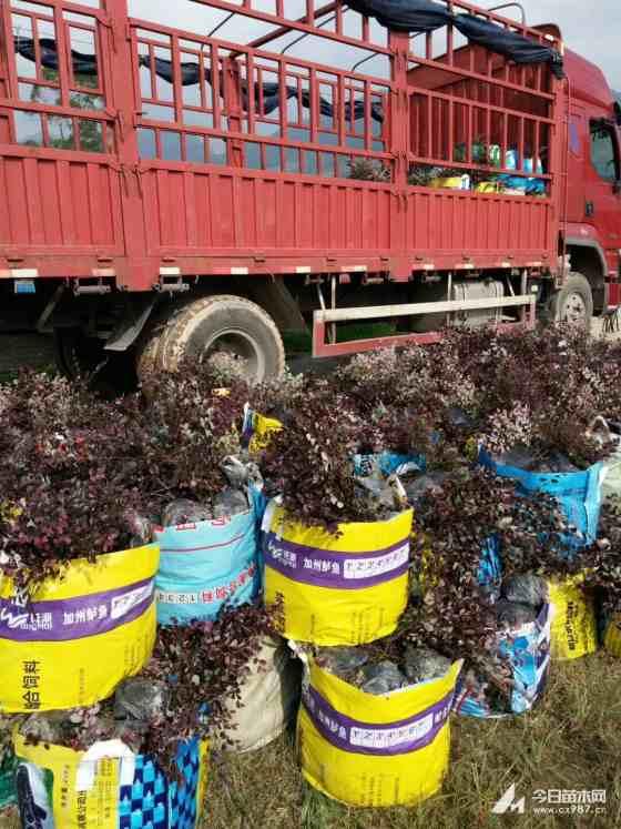 红花继木批发价 红花继木市场行情