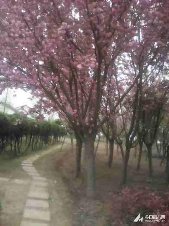 四川成都米径3公分樱花树价格便宜 樱花树基地