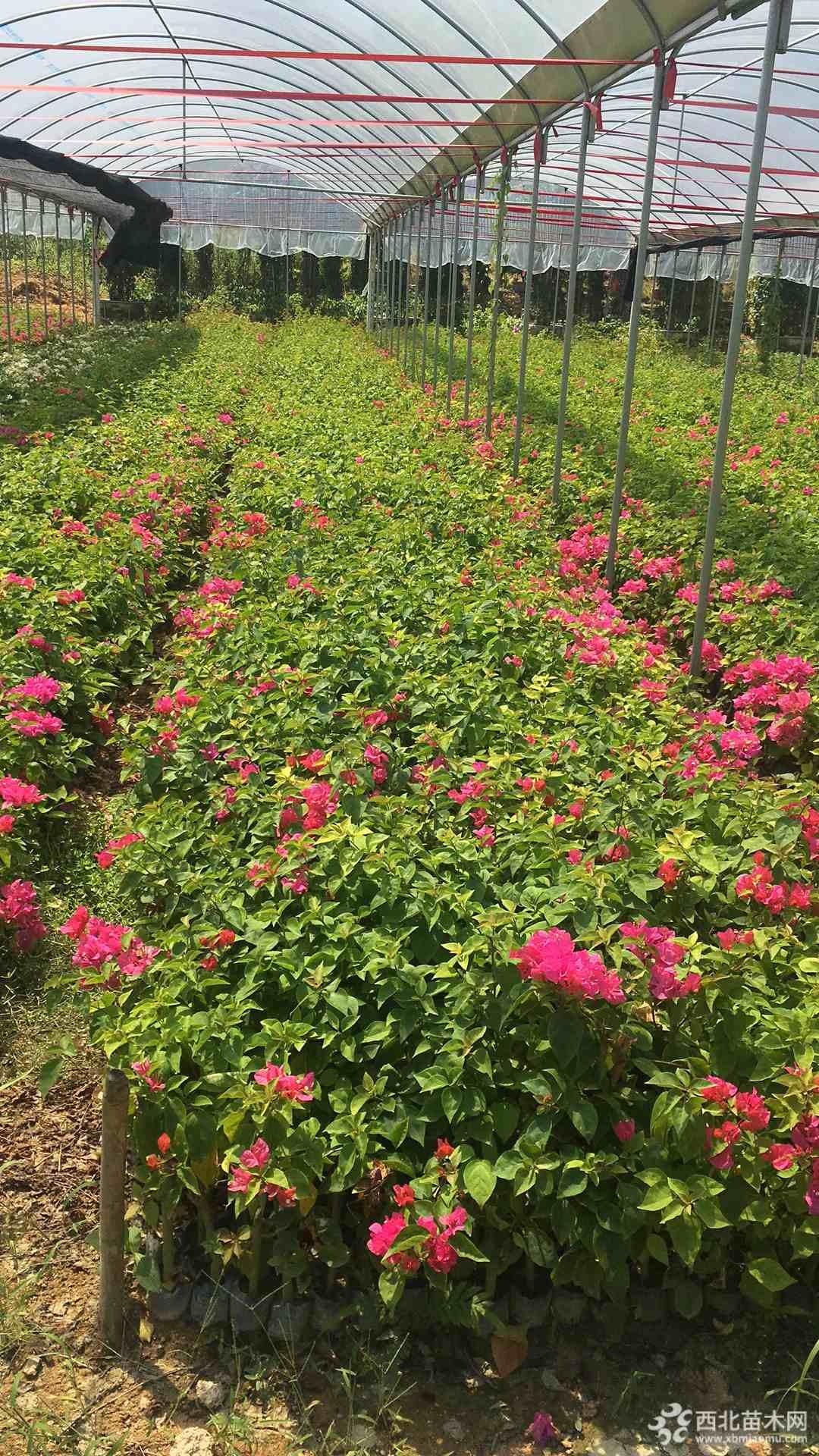 桂麗園藝,長期供應精品福建三角梅,紅花三角梅